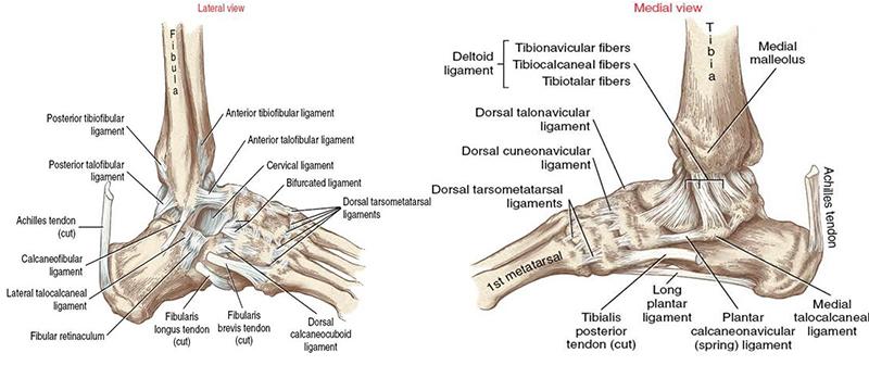 Суставы таранной кости бровары лечение суставов